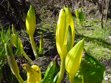 skunk_cabbage_sunlight