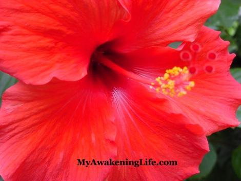 flower_amarilis