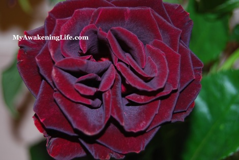 flower_black_rose
