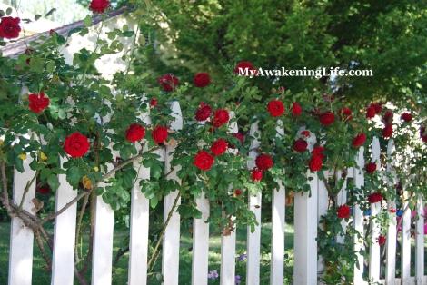 flower_rose_fence